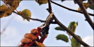 zimní řez jabloně